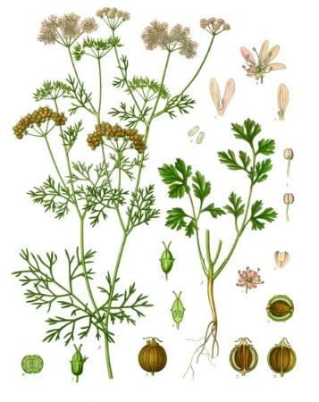 Gin Botanicals: Coriander