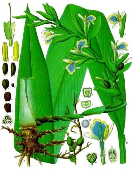 Gin Botanicals: Cardamom Profile