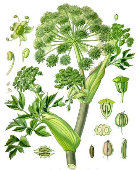 Gin Botanicals: Angelica Root