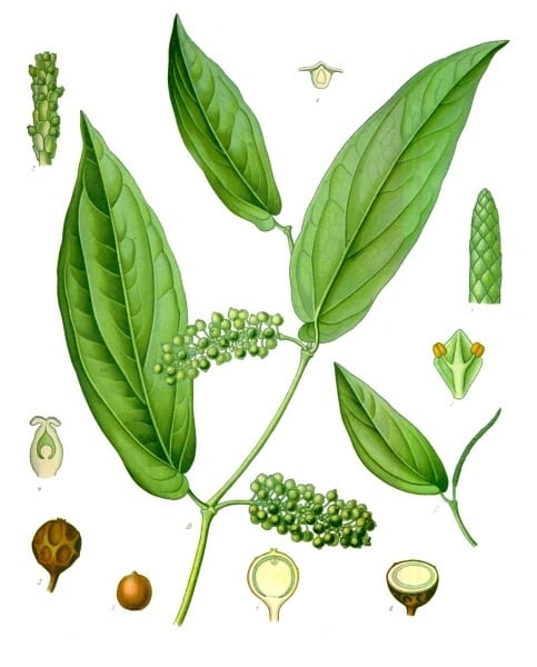 Gin Botanicals: Cubeb Berries Profile