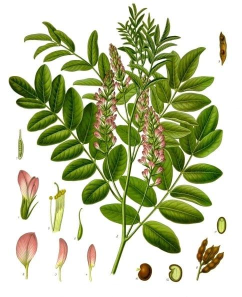 Gin Botanicals: Liquorice Root Profile
